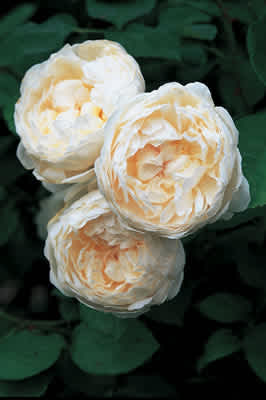 Glamis Castle (Auslevel) (PBR) rose