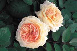 A Shropshire Lad (Ausled) (PBR) rose