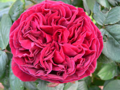 The Squire (PBR) (85cm) rose