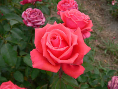 Fragrant Cloud (85cm) rose