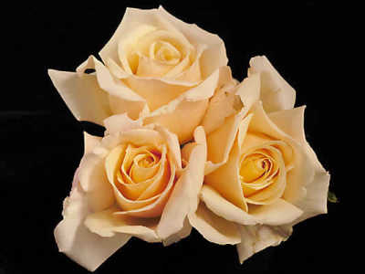 Diamond Jubilee (85cm) rose