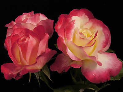 Double Delight (85cm) rose