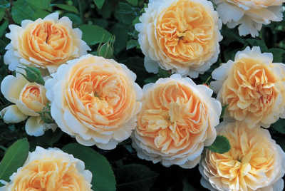 Crocus Rose (Ausquest) (PBR) rose