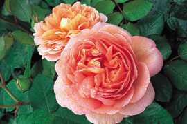 Abraham Darby (Auscot) rose