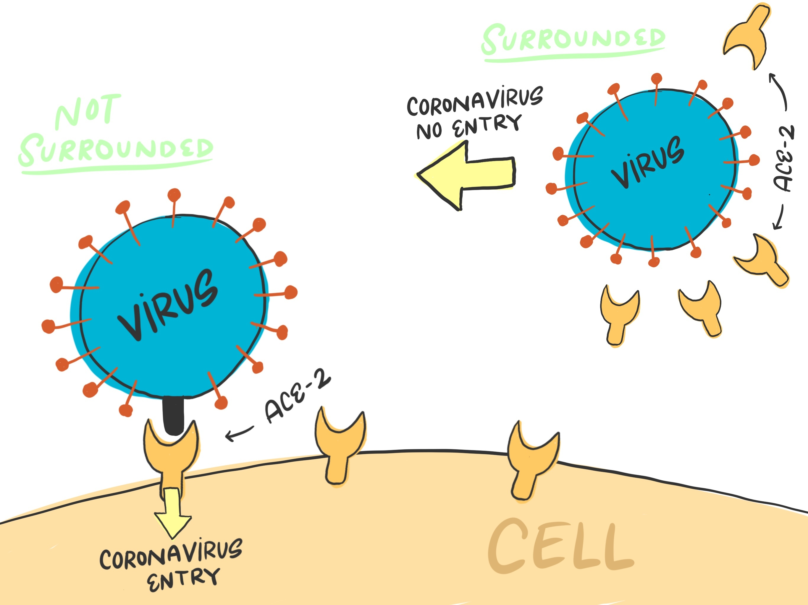 How soluble ACE2 effects coronavirus