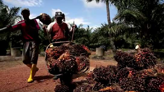 Watch video: Committed To Zero Palm Oil Deforestation – Sustainable Palm Oil
