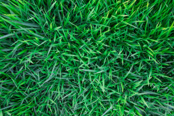 How to mow a lawn for healthier grass.