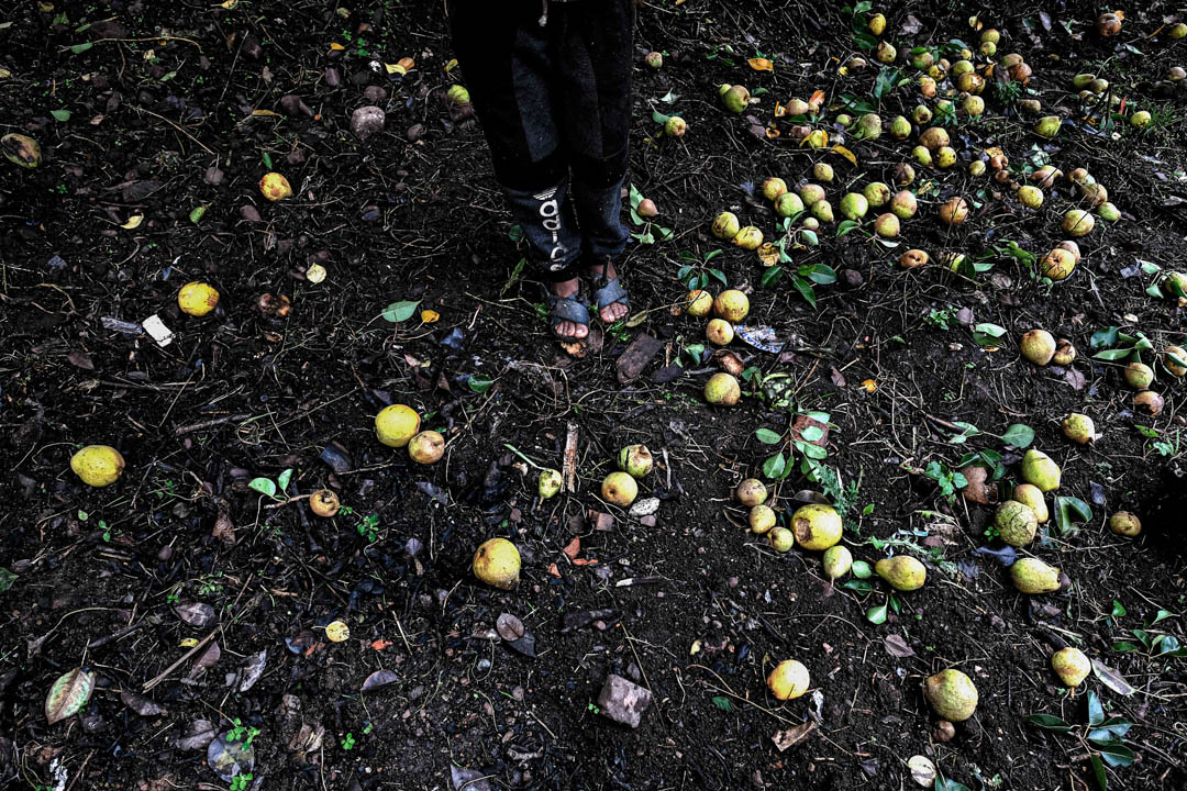 The floor of a farm full of ripen and unpicked pears