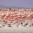 Roseate flamingos dividing parental duti