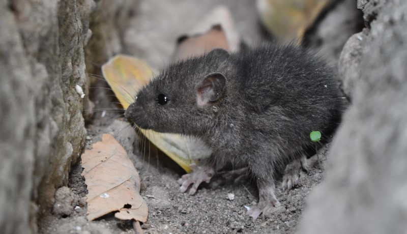 What Diseases can Rats Spread to Humans?