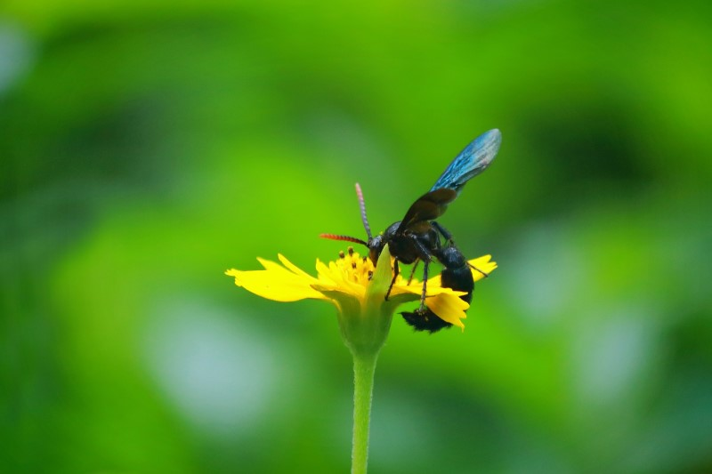 What Are Blue Mud Dauber Wasps?