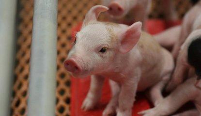 Swine Showcase