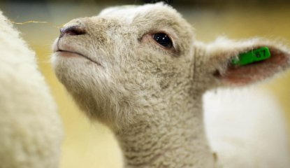 Sheep Showcase