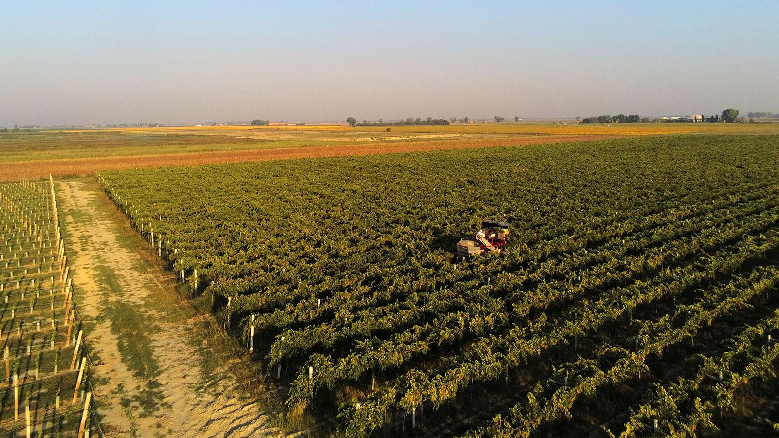 Vineyard in Ferrara Region, Italy