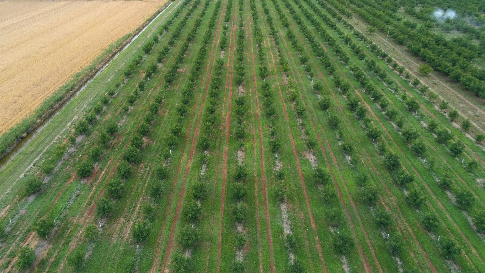 Walnut orchard in Ferrara Region, Italy