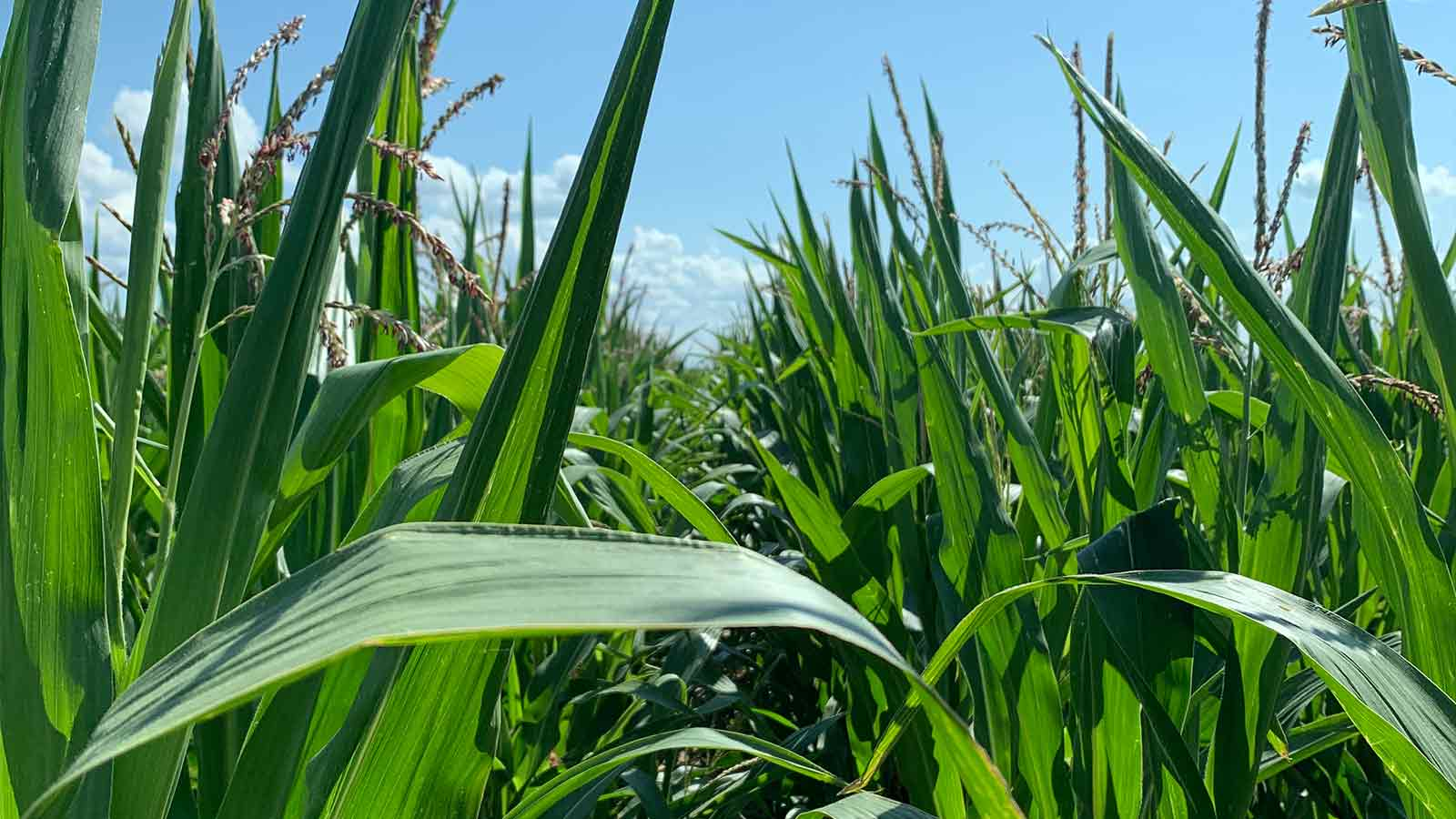 Boosting-corn-growth-with-digital-agriculture