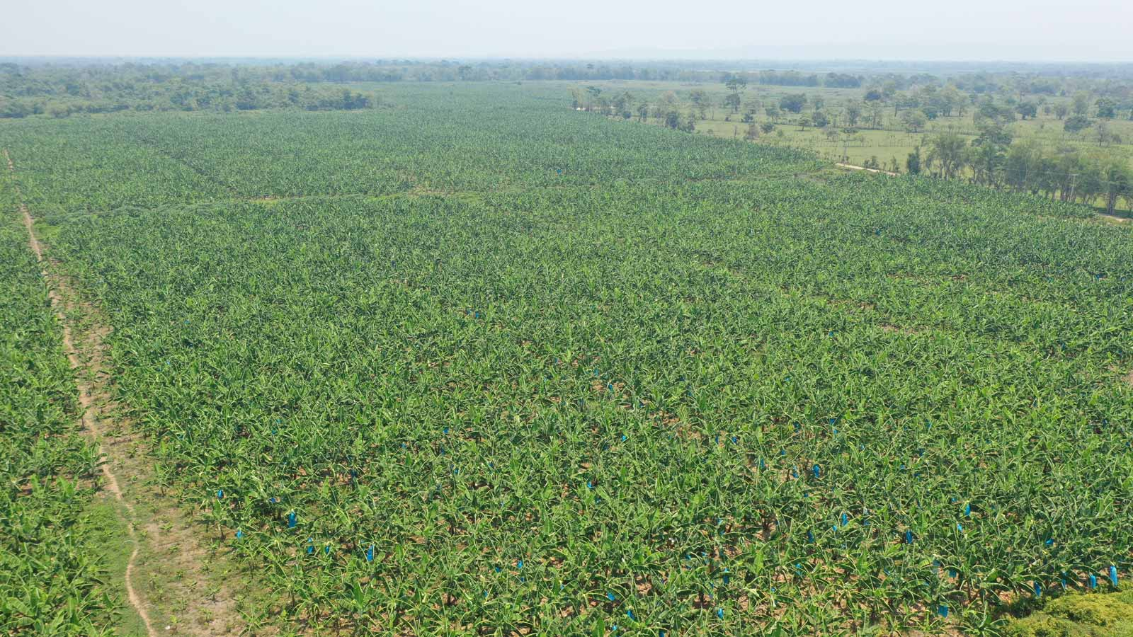 Pix4Dfields drone mapping for banana production in Mexico