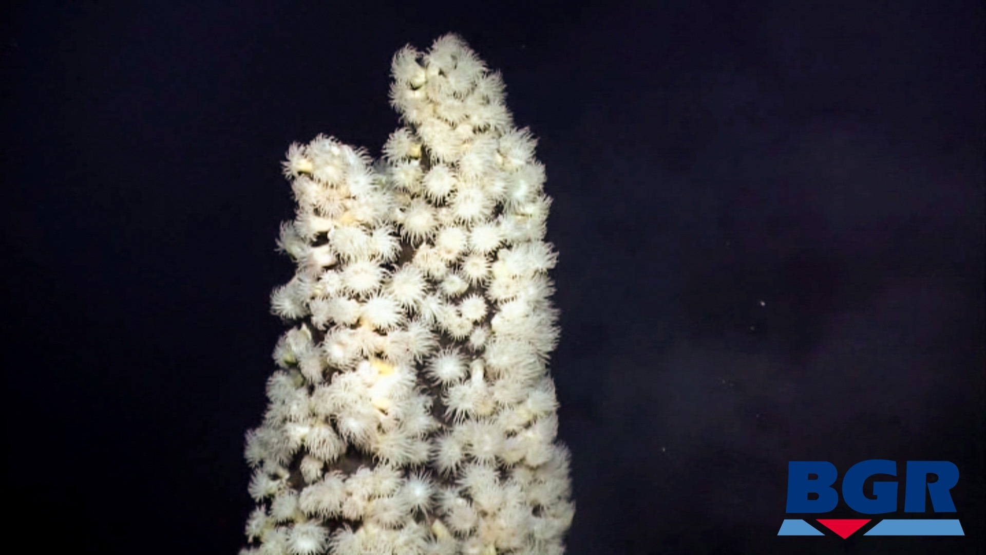 Maractis sea anemones on an underwater thermal vent