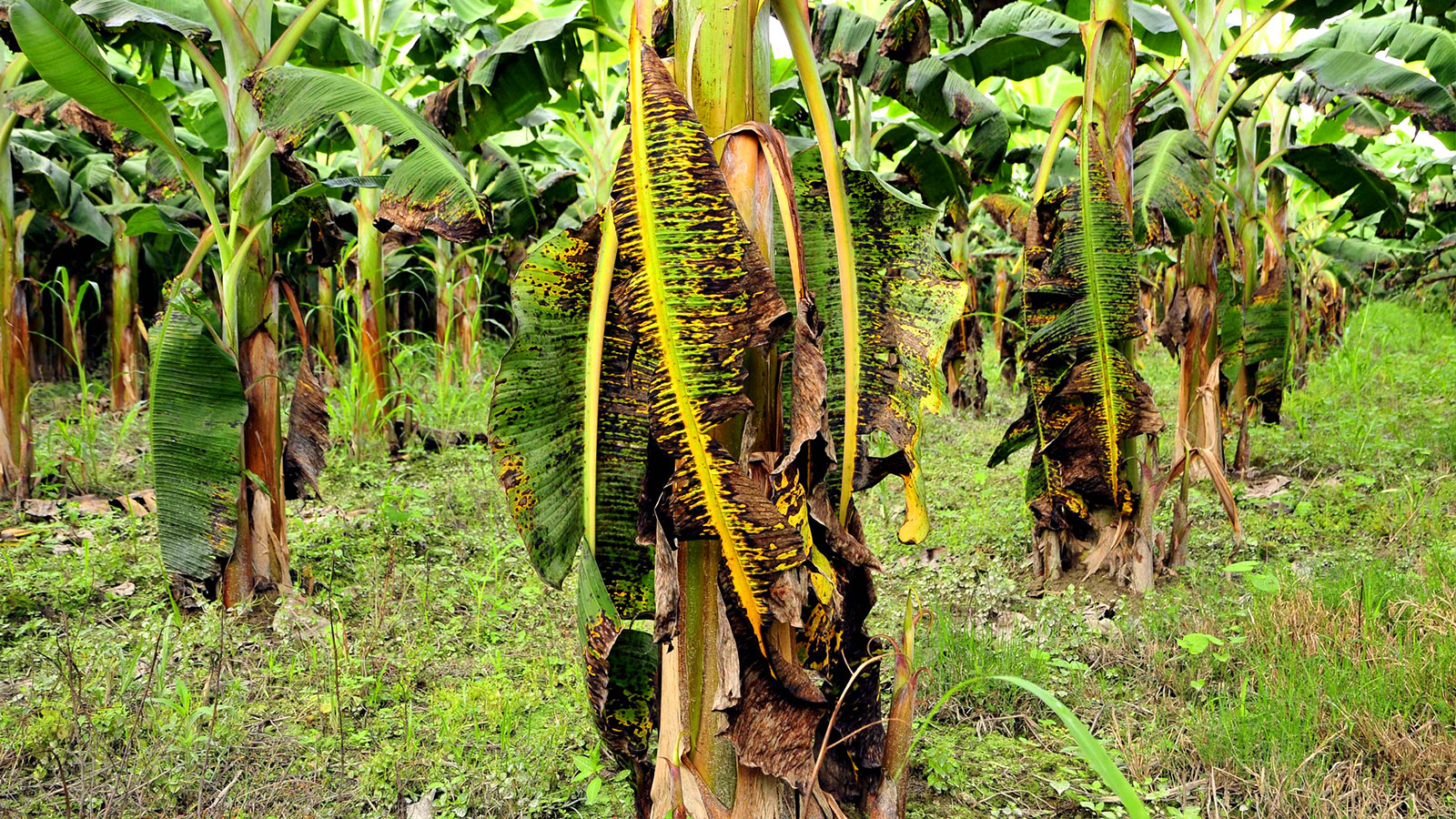 Palm tree affected by Black Sigatoka disease