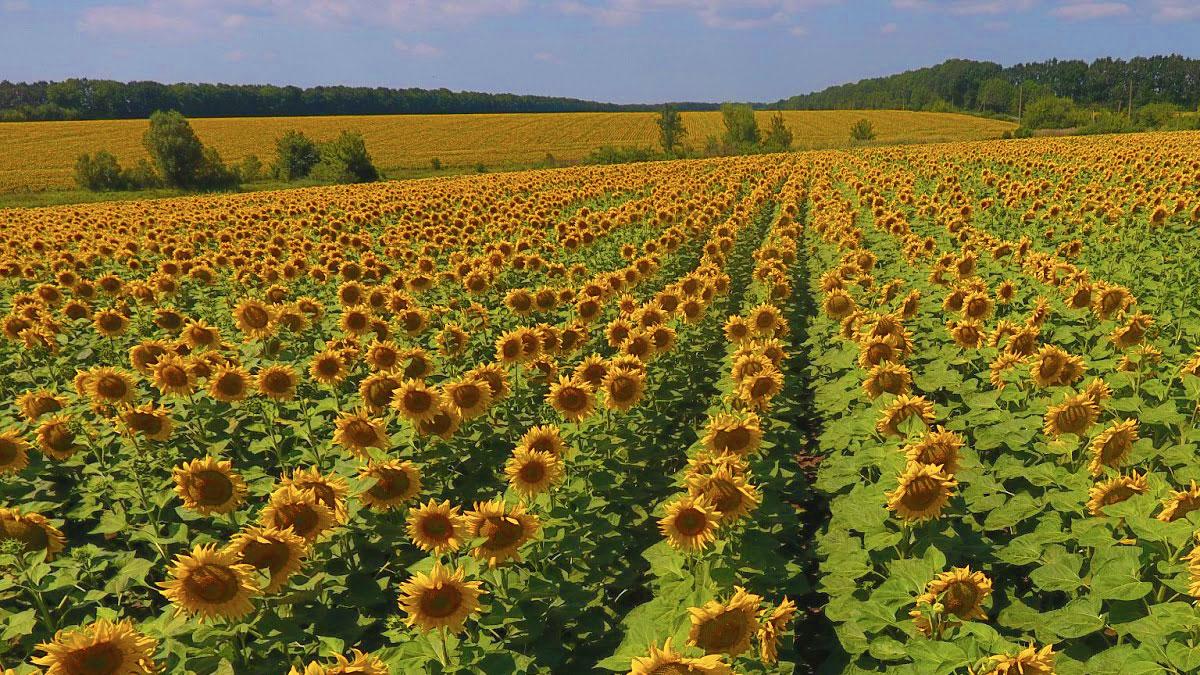HEA BLO AGR Seasonally-monitoring-sunflower