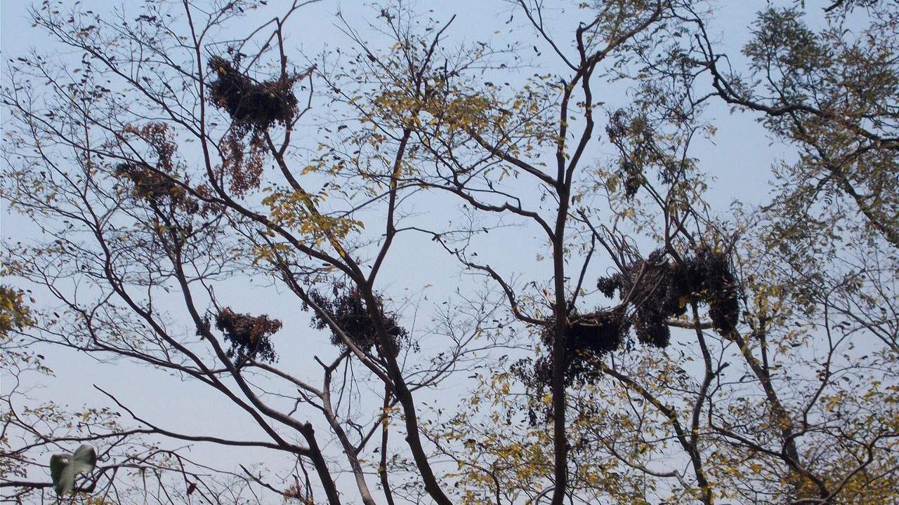 Chimpanzee nests in trees