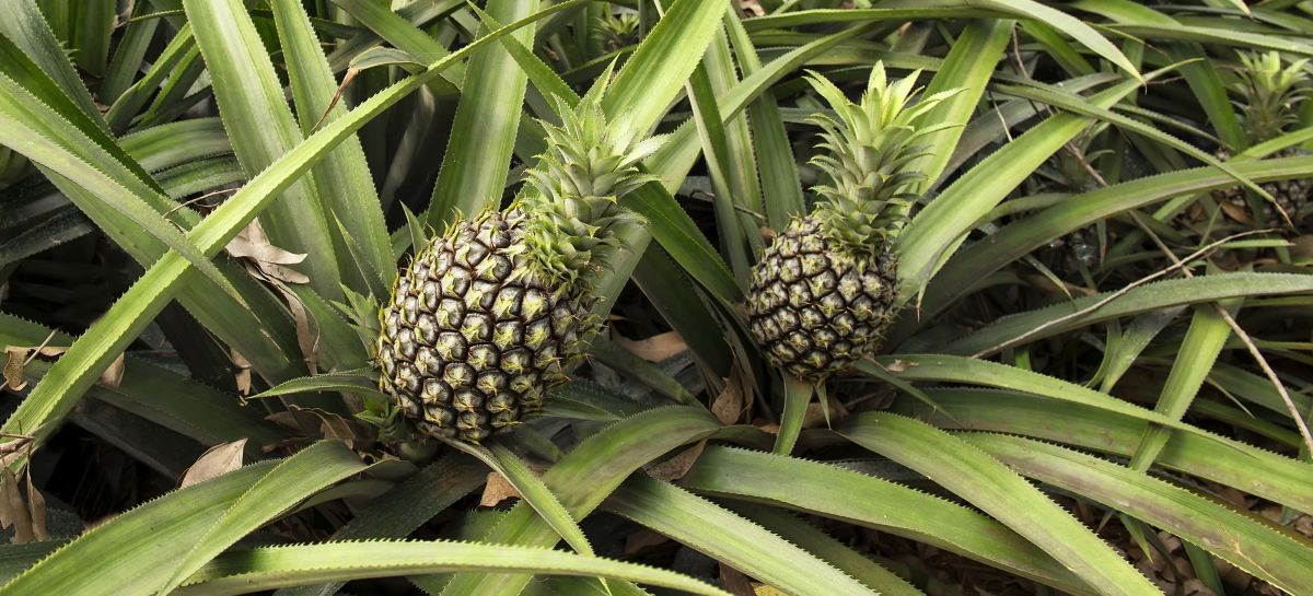 Pix4D-agriculture-drone-mapping-pineapple-field-07