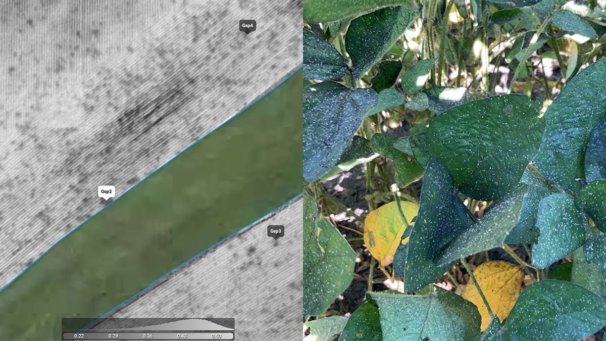 aphid damage identified using drone mapping