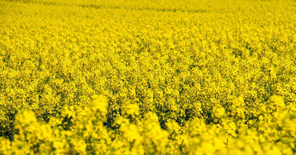 Oilseed-rape-field-from-above
