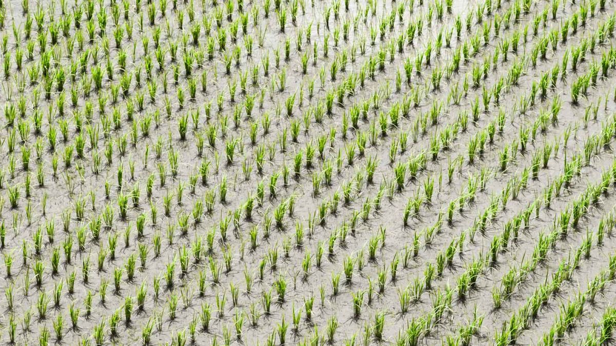 Aerial-photo-of-a-rice-paddy