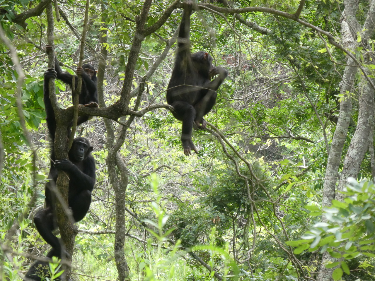 a family of chimpanzees in a tree