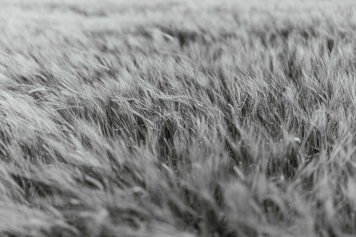 Close-up of wind rustling through crops on a field