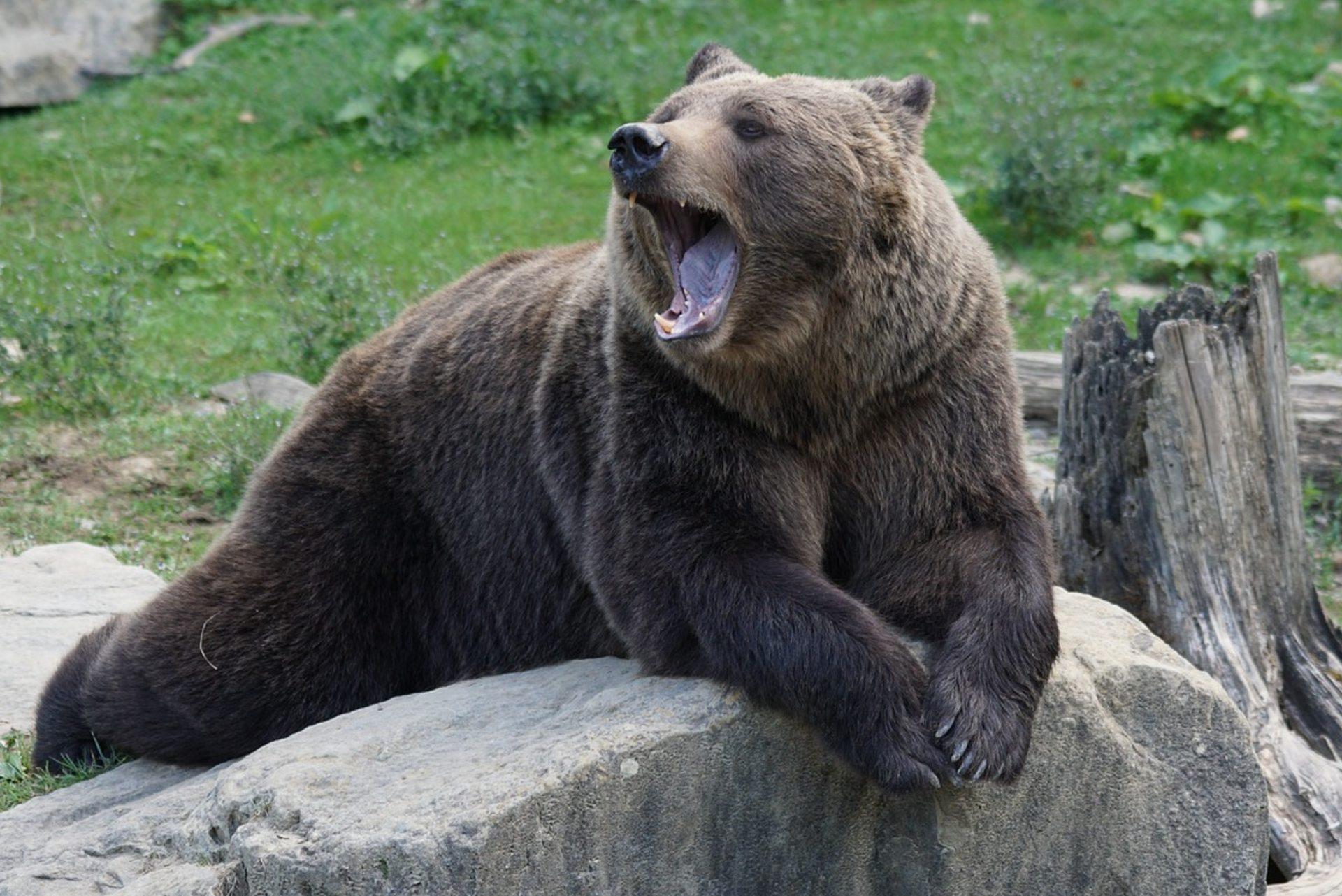 Niedźwiedź w hotelowej restauracji w Tatrach