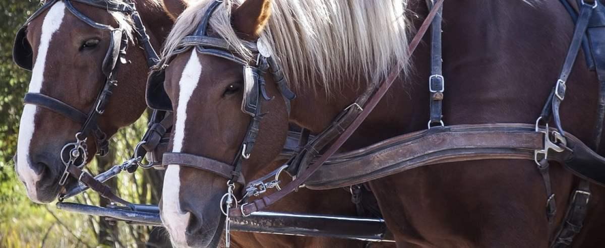 Konie na Wyspach Książęcych