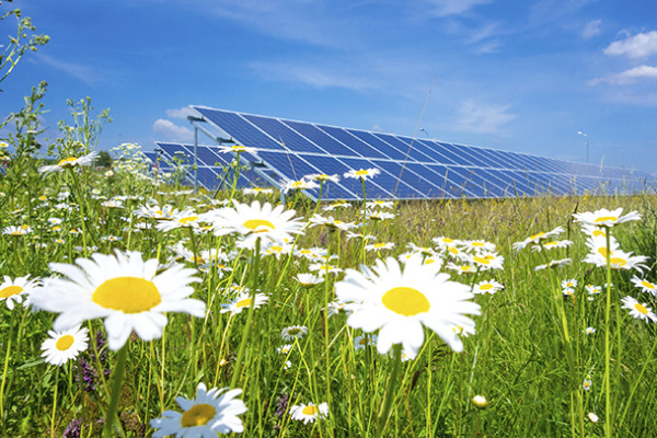 Solar panels with daisies