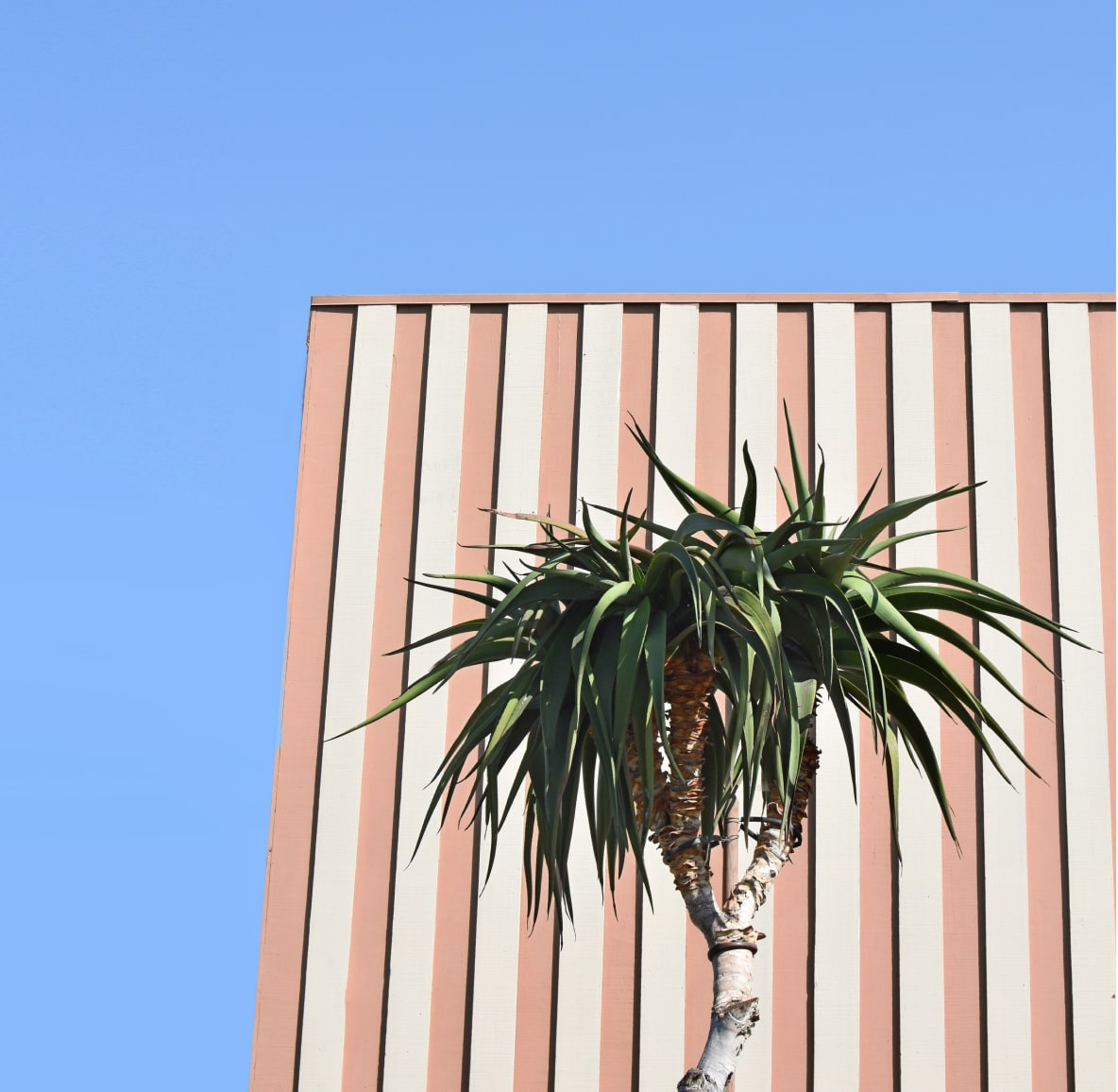 Palm tree in front of striped wall with blue sky in background