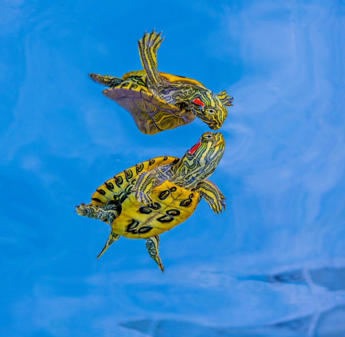 Mirrored image of a yellow and green turtle swimming in light blue water