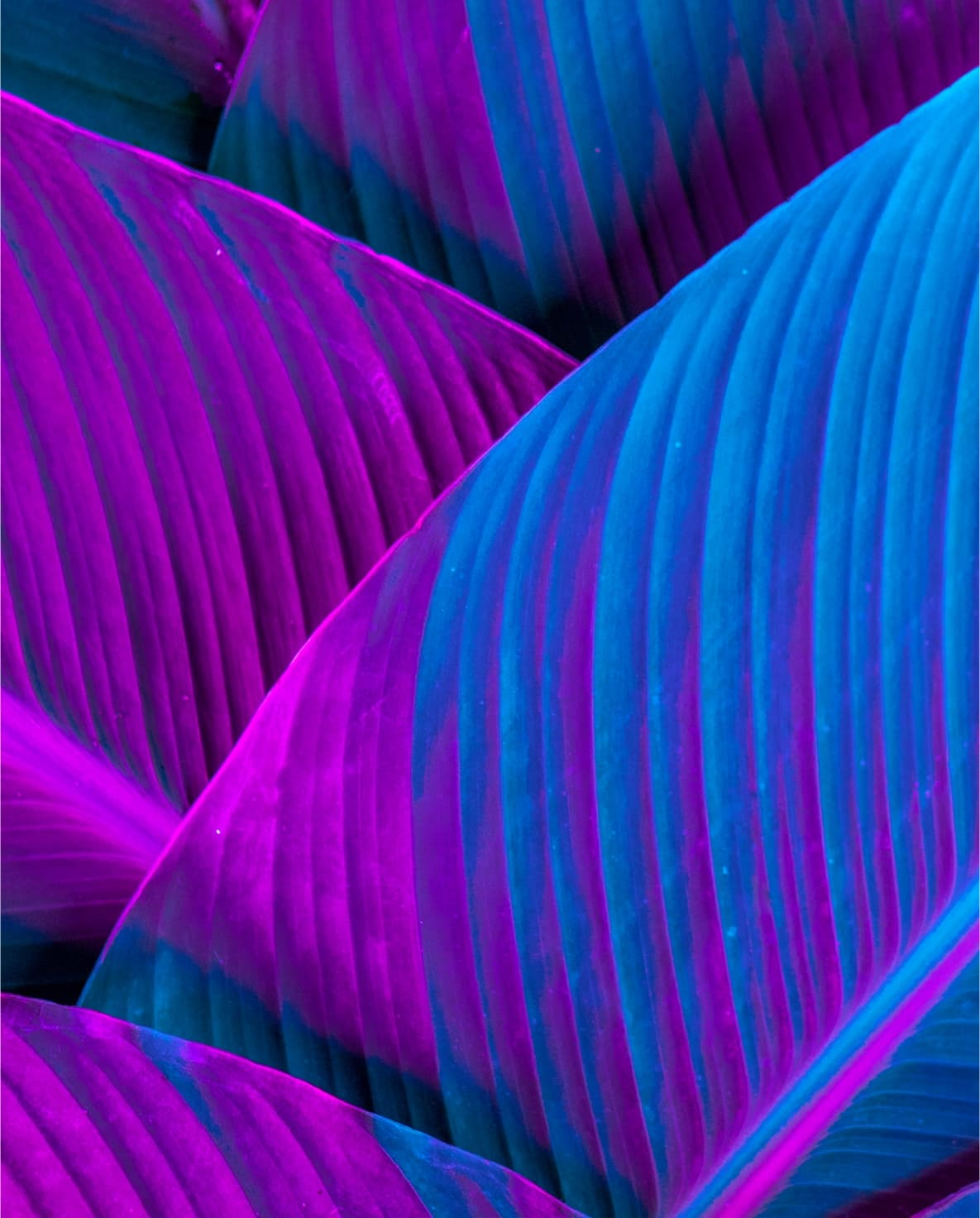 Large vibey leaves in purple and blue