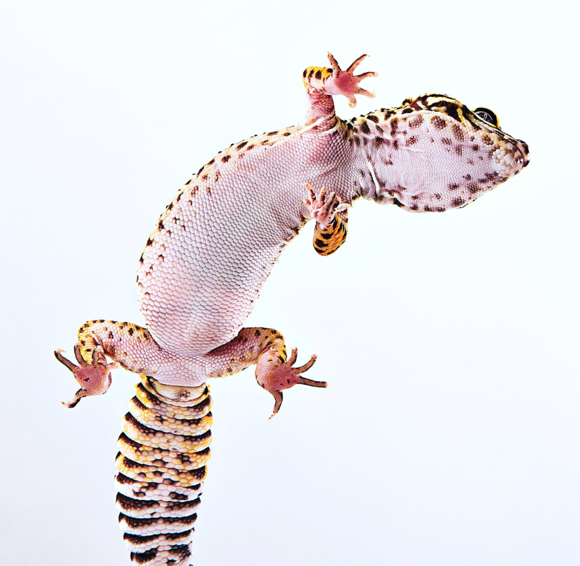 The underside of a yellow lizard with brown spots