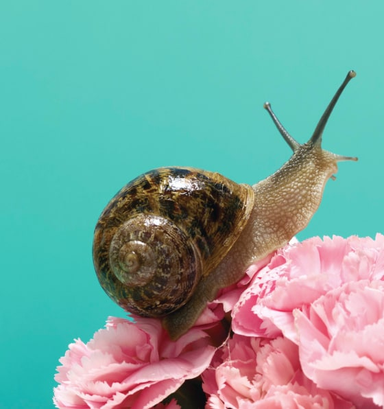 A brown snail sitting on a pink carnation flower