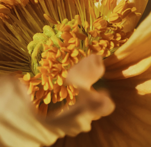 Closeup on the inside of a yellow flower