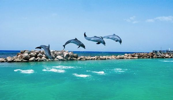 Four dolphins jumping through the water