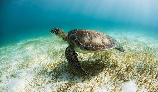 Des tortues de mer nageant au fond de la mer.