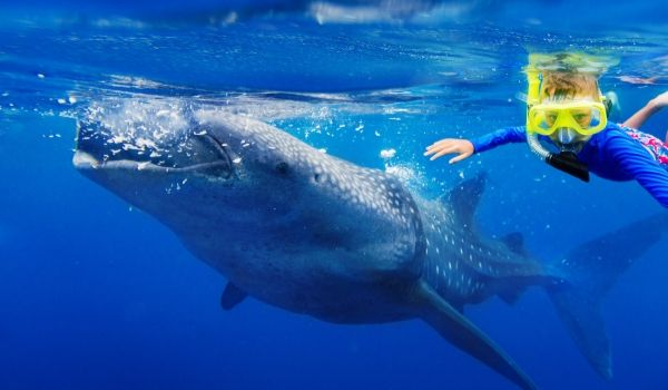 Kid snorkelling next to a whale shark