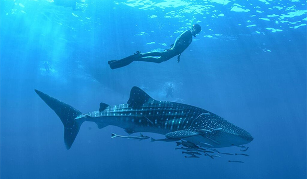 Un enfant faisant de la plongée avec tuba à côté d'un requin-baleine