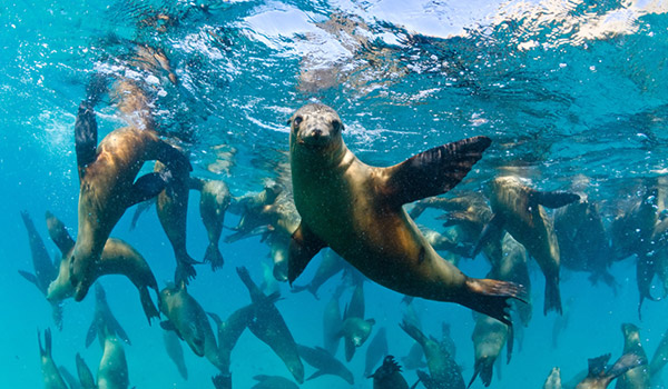 Family of sea lions swimming