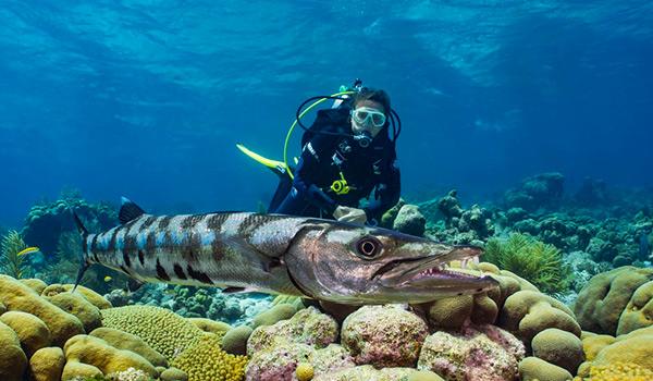 Plongeur nageant à côté d'un barracuda