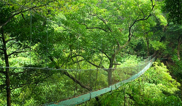 Suspended bridge nestled within a lush Costa Rican rainforest