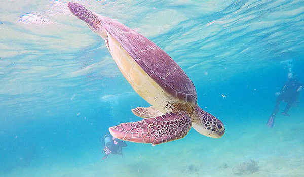 Sea turtle swimming through crystal-clear water with scuba divers