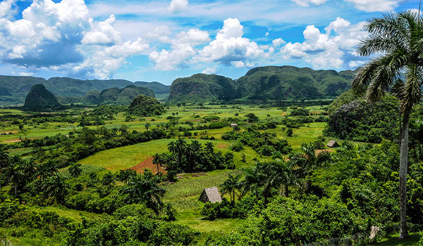 Lush tobacco fields with limestone cliffs in the distance
