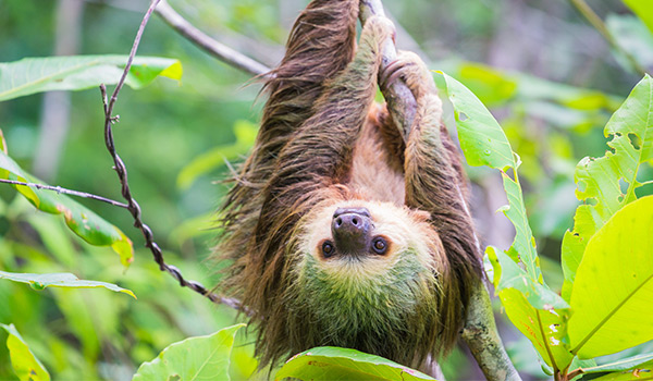 Sloth hanging upside down from a tree branch
